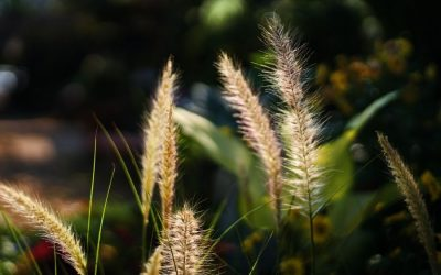 Foxtails Why They Are Dangerous for Dogs
